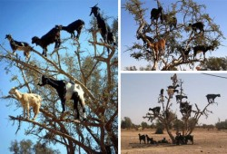 tree-climbing-goats2